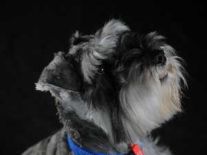A handsome Miniature Schnauzer