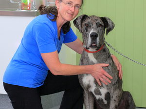 51 kg of beautiful Great Dane!